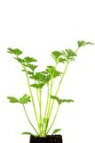 Σέλινο (Apium graveolens) Στοκ εικόνα με δικαίωμα ελεύθερης χρήσης