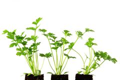 Σέλινο (Apium graveolens) Στοκ Φωτογραφία