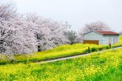 Σήραγγα ανθών κερασιών και τομείς του κίτρινου nanohana ανθίσματος στο πάρκο Kumagaya Arakawa Ryokuchi σε Kumagaya, Σαϊτάμα, Ιαπω Στοκ φωτογραφίες με δικαίωμα ελεύθερης χρήσης