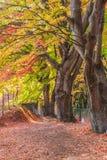 Σήραγγα Momiji διαδρόμων σφενδάμνου στην εποχή φθινοπώρου σε Kawaguchi, Ja Στοκ Φωτογραφία