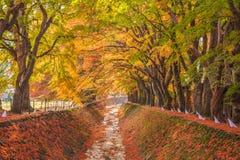 Σήραγγα Momiji διαδρόμων σφενδάμνου στην εποχή φθινοπώρου σε Kawaguchi, Ja Στοκ Εικόνες