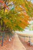 Σήραγγα Momiji διαδρόμων σφενδάμνου στην εποχή φθινοπώρου σε Kawaguchi, Ja Στοκ εικόνα με δικαίωμα ελεύθερης χρήσης