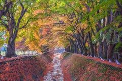 Σήραγγα Momiji διαδρόμων σφενδάμνου στην εποχή φθινοπώρου Στοκ Εικόνες