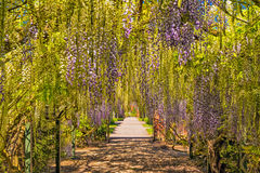 Σήραγγα Wisteria, Hampton Court, Herefordshire, Αγγλία Στοκ Φωτογραφία