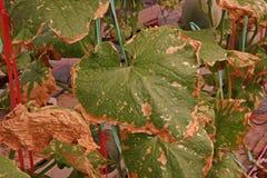 Σήψη φύλλων από την τοξική ουσία πέρα από τη δόση του λιπάσματος του πεπονιού στο aquaponic σύστημα φυτού Στοκ φωτογραφίες με δικαίωμα ελεύθερης χρήσης