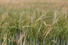 σίκαλη αυτιά Ιούλιος στοκ φωτογραφία με δικαίωμα ελεύθερης χρήσης