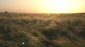 Σίκαλη τομέων στο ηλιοβασίλεμα απόθεμα βίντεο
