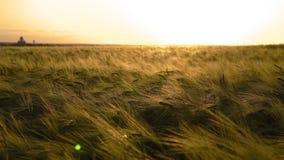 Σίκαλη τομέων στο ηλιοβασίλεμα στοκ φωτογραφίες