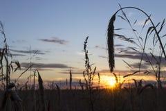 Σίκαλη στο ηλιοβασίλεμα στοκ φωτογραφία με δικαίωμα ελεύθερης χρήσης
