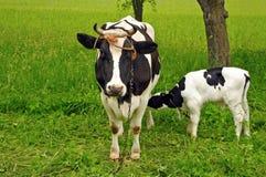 σίτιση αγελάδων μόσχων Στοκ Εικόνες