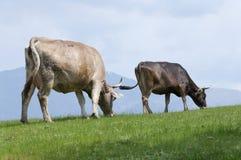 σίτιση αγελάδων Στοκ Φωτογραφίες