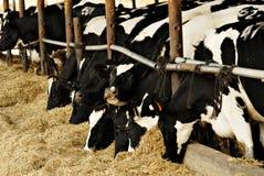 σίτιση αγελάδων Στοκ Φωτογραφία