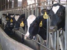 σίτιση αγελάδων Στοκ Εικόνα