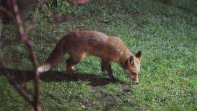 Σίτιση αλεπούδων στον αστικό κήπο σπιτιών που φωτίζεται τη νύχτα από το φως ασφάλειας απόθεμα βίντεο