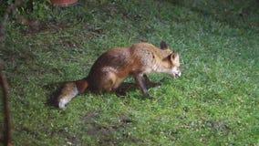 Σίτιση αλεπούδων στον αστικό κήπο σπιτιών που φωτίζεται τη νύχτα από το φως ασφάλειας φιλμ μικρού μήκους