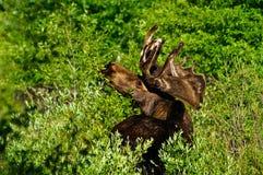 Σίτιση αλκών του Bull Στοκ Εικόνες