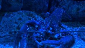 Σίτιση αστακών κάτω από το μπλε φως απόθεμα βίντεο