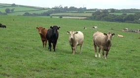 Σίτιση βοοειδών βόειου κρέατος σε έναν τομέα φιλμ μικρού μήκους