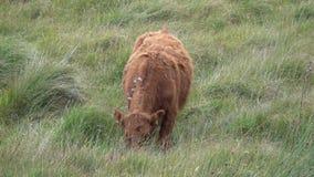 Σίτιση βοοειδών βόειου κρέατος σε έναν τομέα απόθεμα βίντεο