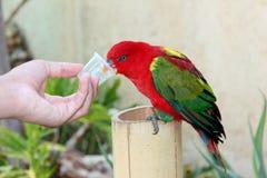 Σίτιση ενός κόκκινου παπαγάλου στο νερό μελιού στοκ φωτογραφία με δικαίωμα ελεύθερης χρήσης
