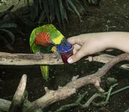 Σίτιση ενός παπαγάλου στοκ φωτογραφίες με δικαίωμα ελεύθερης χρήσης