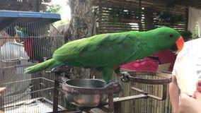 Σίτιση ενός χαριτωμένου πουλιού παπαγάλων απόθεμα βίντεο