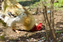 Σίτιση κοκκόρων στο κατώφλι Κλείστε επάνω τον κόκκορα στο αγρόκτημα επάνω Στοκ Φωτογραφίες