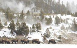 Σίτιση κοπαδιών βισώνων στο τοπίο χιονιού και ατμού στο yellowstone στοκ φωτογραφία