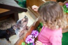 Σίτιση κοριτσιών μικρών παιδιών χαριτωμένη λίγος χοίρος στο αγρόκτημα Στοκ φωτογραφία με δικαίωμα ελεύθερης χρήσης