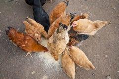 σίτιση κοτόπουλου Στοκ Εικόνες