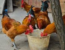 Σίτιση κοτόπουλων στοκ φωτογραφία