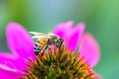 Σίτιση μελισσών nektar στις μέλισσες μελιού στον κήπο στο πορφυρό coneflower Στοκ Εικόνα
