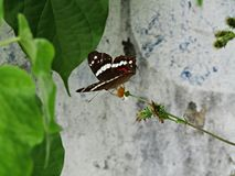 Σίτιση πεταλούδων Στοκ φωτογραφία με δικαίωμα ελεύθερης χρήσης