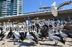 Σίτιση πελεκάνων - Gold Coast Queensland Αυστραλία Στοκ φωτογραφία με δικαίωμα ελεύθερης χρήσης