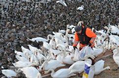 Σίτιση πουλιών στη Στοκχόλμη στοκ εικόνες