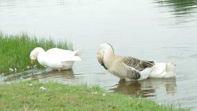 Σίτιση πουλιών νερού χήνων απόθεμα βίντεο