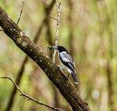 Σίτιση πουλιών χασάπηδων Στοκ Φωτογραφίες