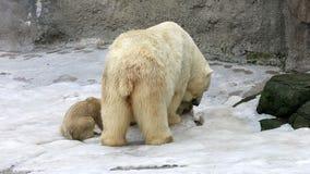 Σίτιση πολικών αρκουδών και αρκούδα-bear-cubs απόθεμα βίντεο