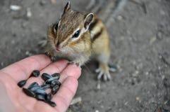 Σίτιση σπόρων χεριών Chipmunk Στοκ Φωτογραφία