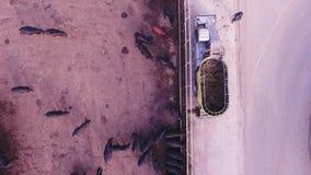 Σίτιση συλλήψεων καμερών κηφήνων των μαύρων βοοειδών μέσω της σύγχρονης αυτόματης τεχνικής απόθεμα βίντεο