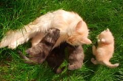 σίτιση του γατακιού γατ&alph στοκ φωτογραφία