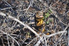 Σίτιση του εδάφους Iguana Στοκ Εικόνα