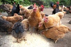 Σίτιση του κοτόπουλου Στοκ εικόνα με δικαίωμα ελεύθερης χρήσης