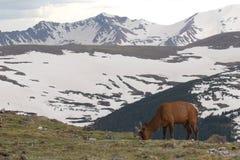 Σίτιση του Bull αλκών στο αλπικό λιβάδι Στοκ Φωτογραφία