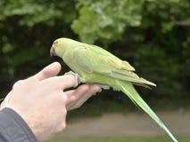 Σίτιση του parakeet Στοκ εικόνα με δικαίωμα ελεύθερης χρήσης