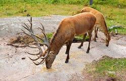 Σίτιση των άγριων ελαφιών στο δάσος Στοκ φωτογραφία με δικαίωμα ελεύθερης χρήσης