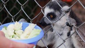 Σίτιση των κερκοπιθήκων σε ένα κλουβί σε έναν ζωολογικό κήπο απόθεμα βίντεο