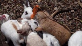 Σίτιση των μικρών κουνελιών Oryctolagus με το καρότο απόθεμα βίντεο