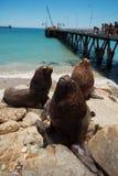 Σίτιση των πελεκάνων και των λιονταριών θάλασσας Στοκ Εικόνες