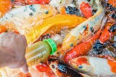 Σίτιση των τροφίμων στα φανταχτερά ψάρια κυπρίνων ή κυπρίνων koi στη λίμνη Στοκ Εικόνες